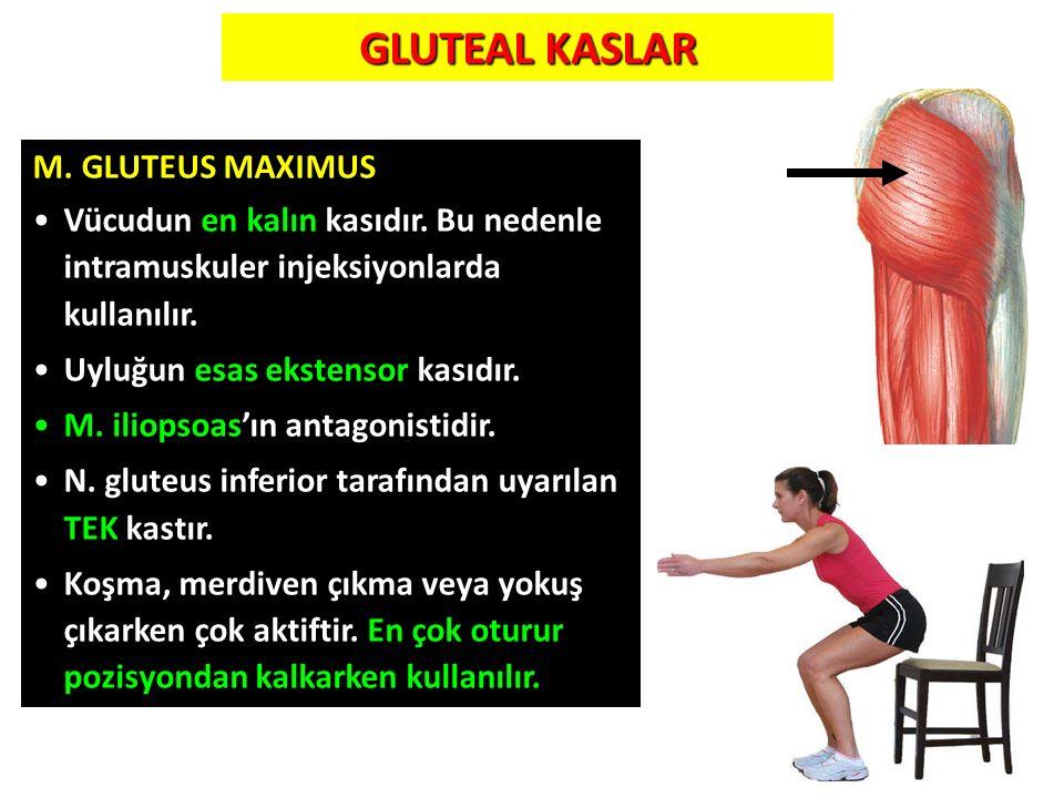 GLUTEAL KASLAR 50 M. GLUTEUS MAXIMUS Vücudun en kalın kasıdır. Bu nedenle intramuskuler injeksiyonlarda kullanılır. Uyluğun esas ekstensor kasıdır. M.