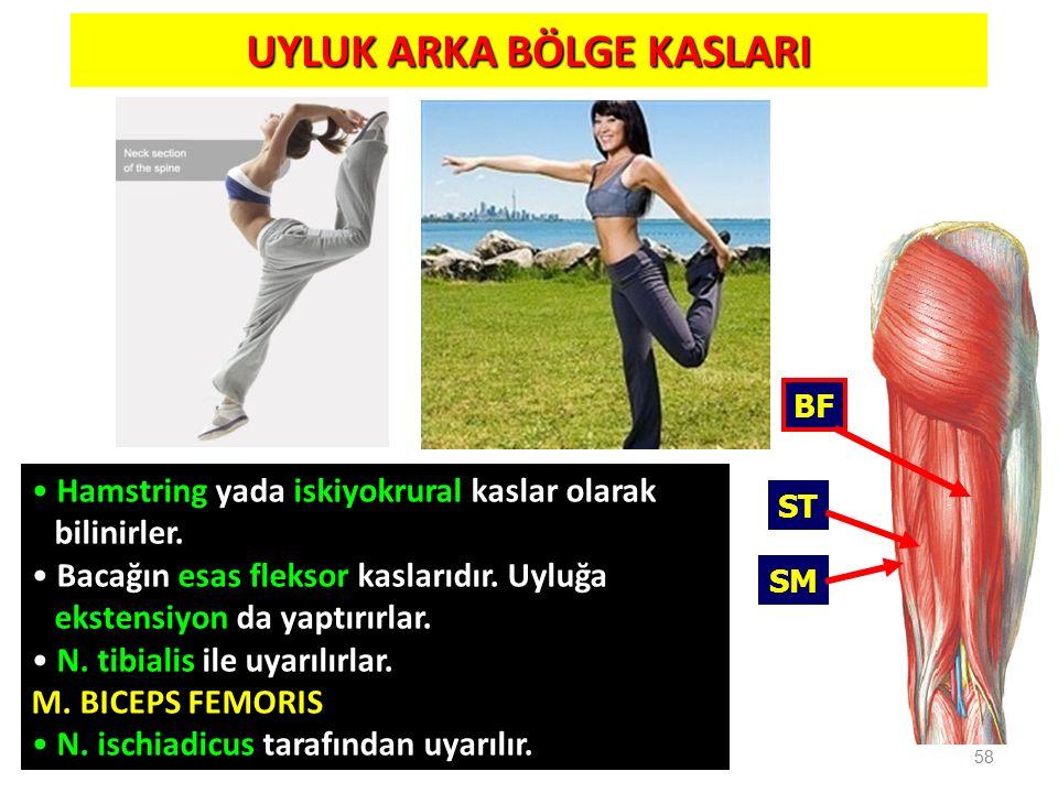 UYLUK ARKA BÖLGE KASLARI 58 BF ST SM Hamstring yada iskiyokrural kaslar olarak bilinirler. Bacağın esas fleksor kaslarıdır. Uyluğa ekstensiyon da yapt