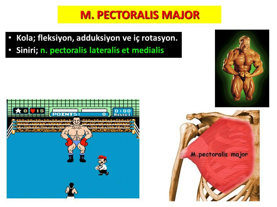 M. PECTORALIS MAJOR Kola; fleksiyon, adduksiyon ve iç rotasyon. Siniri; n. pectoralis lateralis et medialis 6
