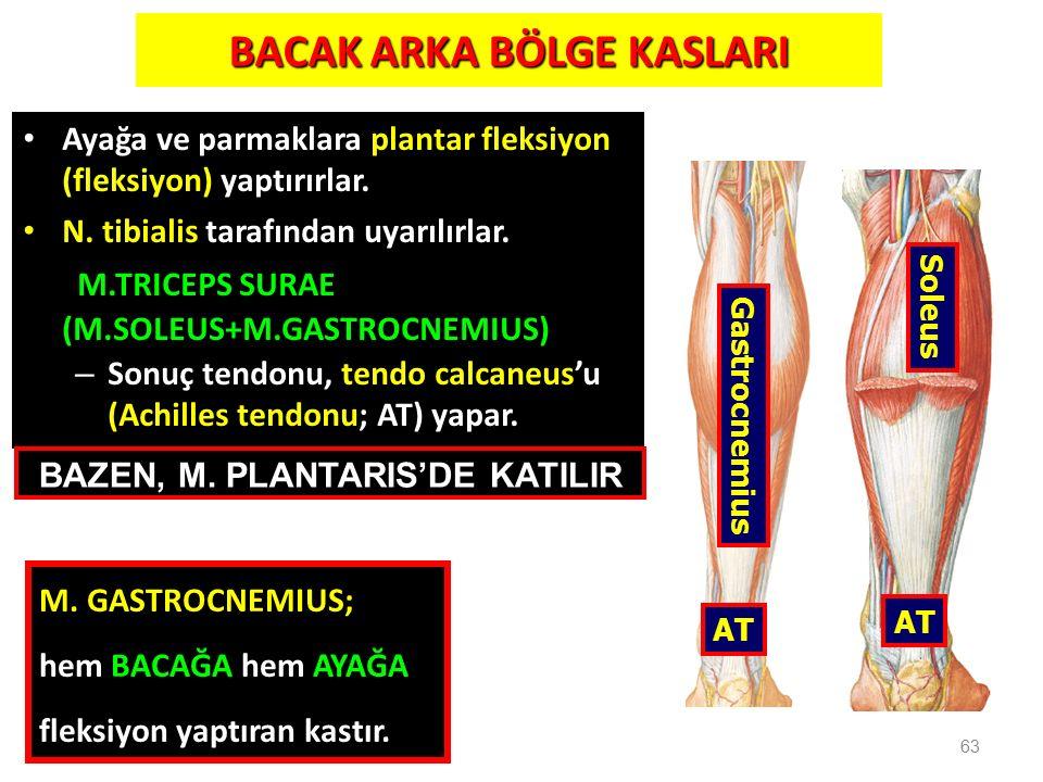BACAK ARKA BÖLGE KASLARI Ayağa ve parmaklara plantar fleksiyon (fleksiyon) yaptırırlar. N. tibialis tarafından uyarılırlar. M.TRICEPS SURAE (M.SOLEUS+