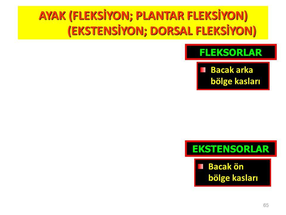 65 AYAK (FLEKSİYON; PLANTAR FLEKSİYON) (EKSTENSİYON; DORSAL FLEKSİYON) (EKSTENSİYON; DORSAL FLEKSİYON) FLEKSORLAR EKSTENSORLAR Bacak ön bölge kasları