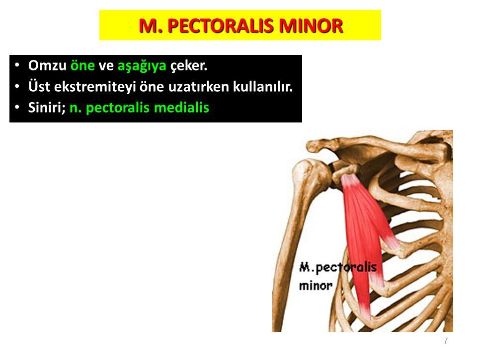 M. PECTORALIS MINOR Omzu öne ve aşağıya çeker. Üst ekstremiteyi öne uzatırken kullanılır. Siniri; n. pectoralis medialis 7
