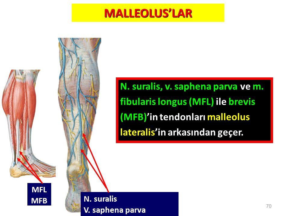 MALLEOLUS'LAR N. suralis, v. saphena parva ve m. fibularis longus (MFL) ile brevis (MFB)'in tendonları malleolus lateralis'in arkasından geçer. 70 N.