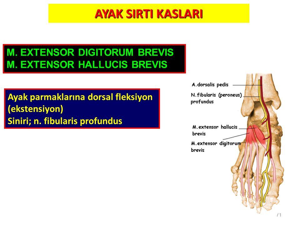 71 AYAK SIRTI KASLARI M. EXTENSOR DIGITORUM BREVIS M. EXTENSOR HALLUCIS BREVIS Ayak parmaklarına dorsal fleksiyon (ekstensiyon) Siniri; n. fibularis p