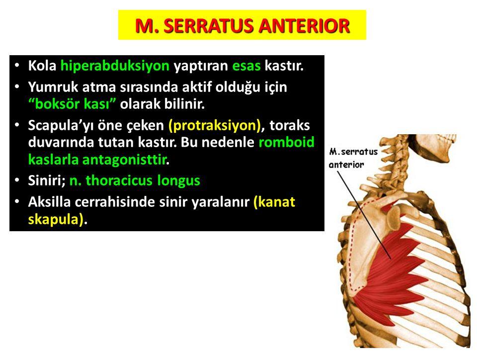 """9 M. SERRATUS ANTERIOR Kola hiperabduksiyon yaptıran esas kastır. Yumruk atma sırasında aktif olduğu için """"boksör kası"""" olarak bilinir. Scapula'yı öne"""