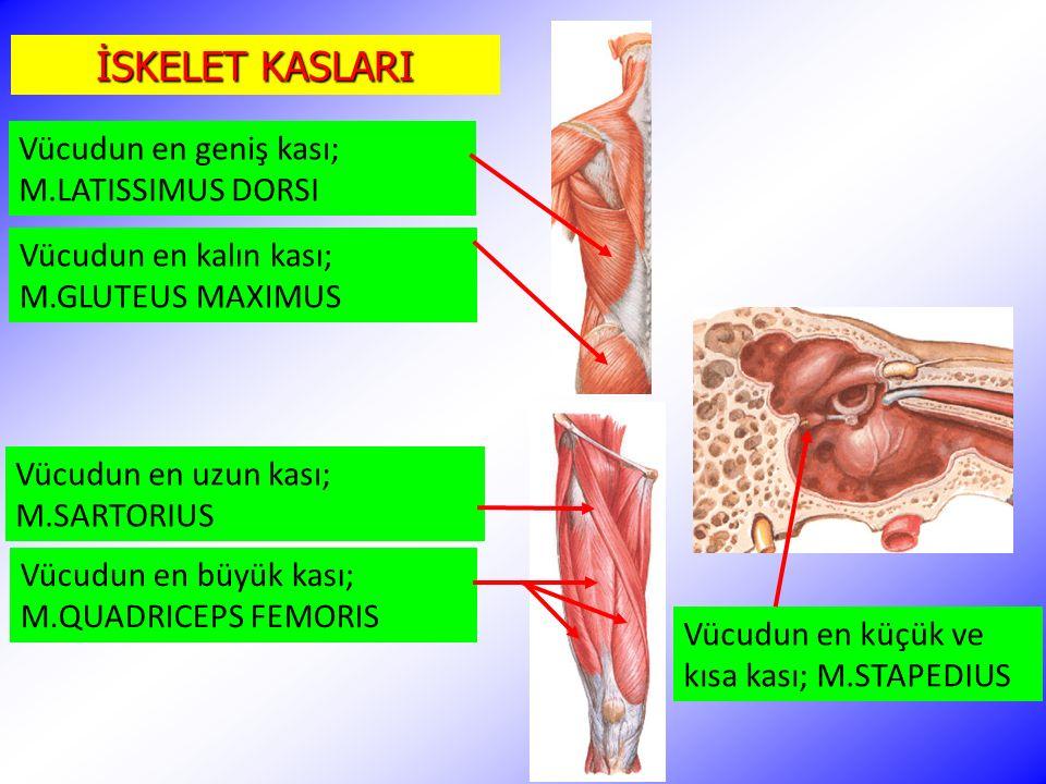 Vücudun en uzun kası; M.SARTORIUS Vücudun en küçük ve kısa kası; M.STAPEDIUS Vücudun en kalın kası; M.GLUTEUS MAXIMUS Vücudun en büyük kası; M.QUADRIC