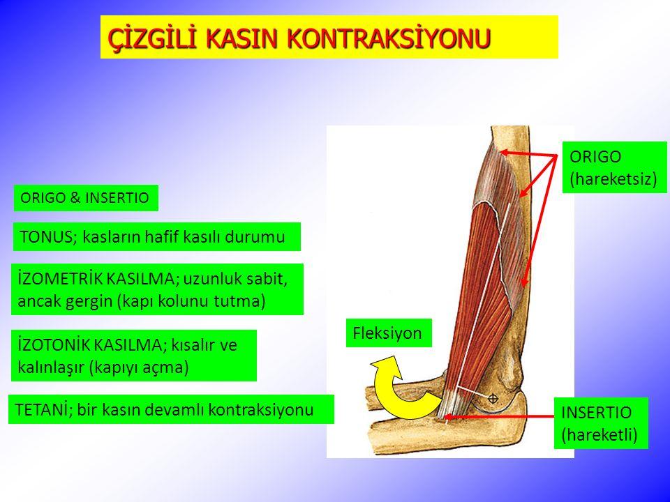 ÇİZGİLİ KASIN KONTRAKSİYONU ORIGO (hareketsiz) INSERTIO (hareketli) TONUS; kasların hafif kasılı durumu İZOMETRİK KASILMA; uzunluk sabit, ancak gergin