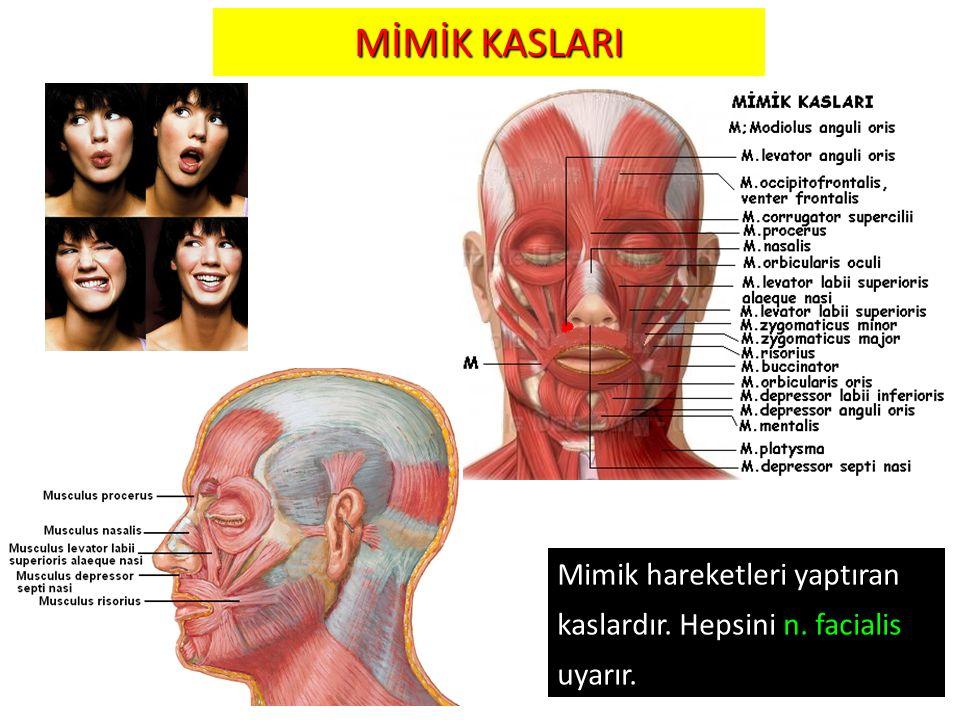 18 MİMİK KASLARI 18 Mimik hareketleri yaptıran kaslardır. Hepsini n. facialis uyarır.