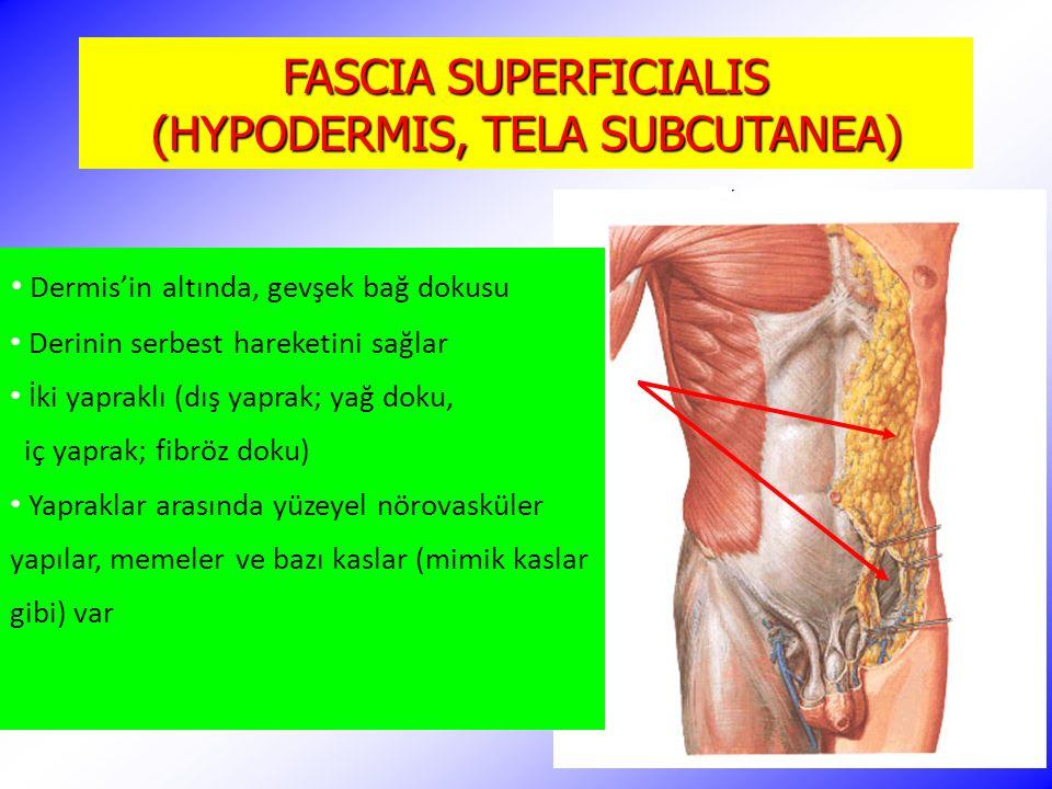 FASCIA SUPERFICIALIS (HYPODERMIS, TELA SUBCUTANEA) Dermis'in altında, gevşek bağ dokusu Derinin serbest hareketini sağlar İki yapraklı (dış yaprak; ya