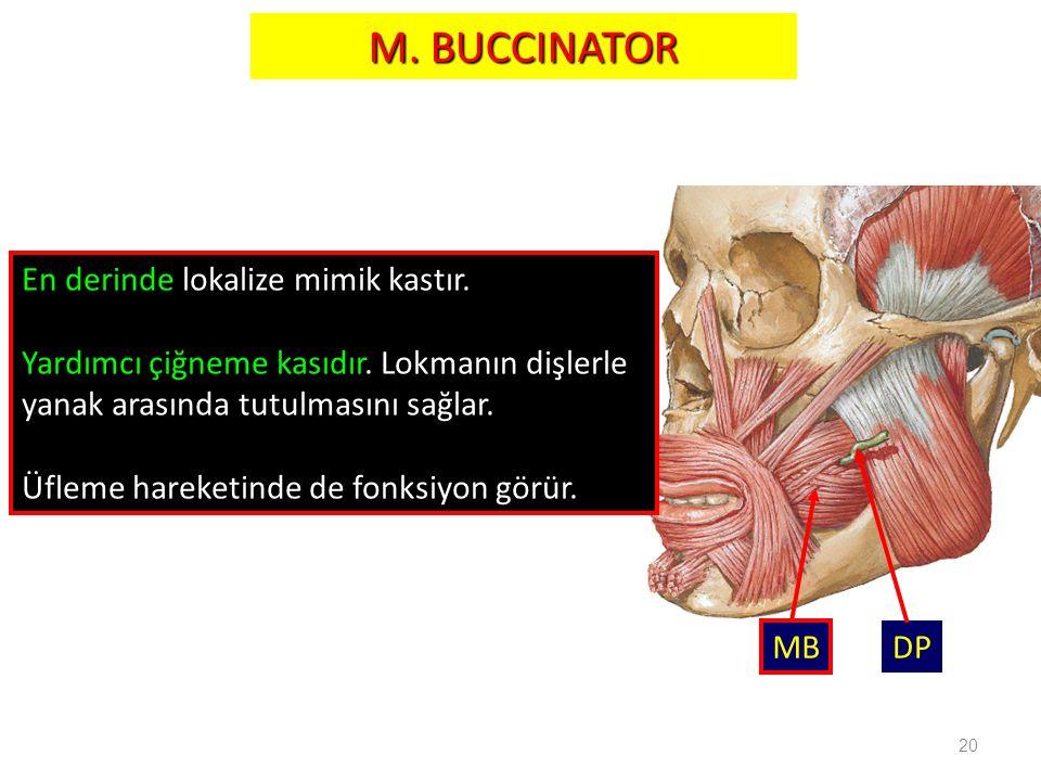 20 M. BUCCINATOR MB DP En derinde lokalize mimik kastır. Yardımcı çiğneme kasıdır. Lokmanın dişlerle yanak arasında tutulmasını sağlar. Üfleme hareket