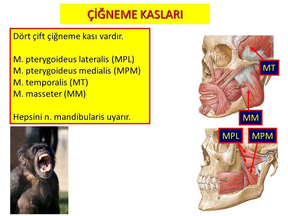 21 MT MM MPLMPM ÇİĞNEME KASLARI Dört çift çiğneme kası vardır. M. pterygoideus lateralis (MPL) M. pterygoideus medialis (MPM) M. temporalis (MT) M. ma