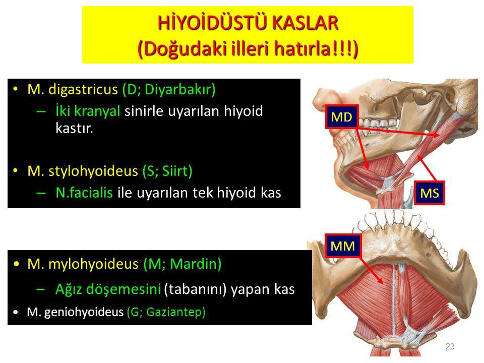 M. digastricus (D; Diyarbakır) – İki kranyal sinirle uyarılan hiyoid kastır. M. stylohyoideus (S; Siirt) – N.facialis ile uyarılan tek hiyoid kas 23 M