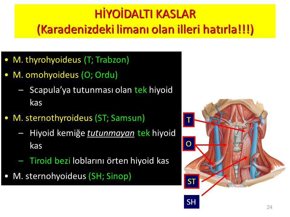 HİYOİDALTI KASLAR (Karadenizdeki limanı olan illeri hatırla!!!) 24 M. thyrohyoideus (T; Trabzon) M. omohyoideus (O; Ordu) –Scapula'ya tutunması olan t