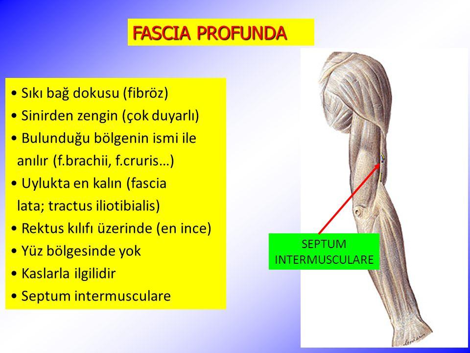 FASCIA PROFUNDA Sıkı bağ dokusu (fibröz) Sinirden zengin (çok duyarlı) Bulunduğu bölgenin ismi ile anılır (f.brachii, f.cruris…) Uylukta en kalın (fas