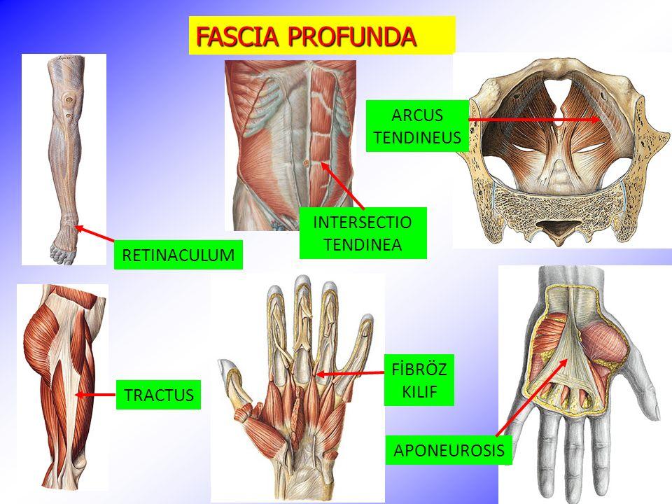 FASCIA PROFUNDA TRACTUS RETINACULUM FİBRÖZ KILIF APONEUROSIS ARCUS TENDINEUS INTERSECTIO TENDINEA