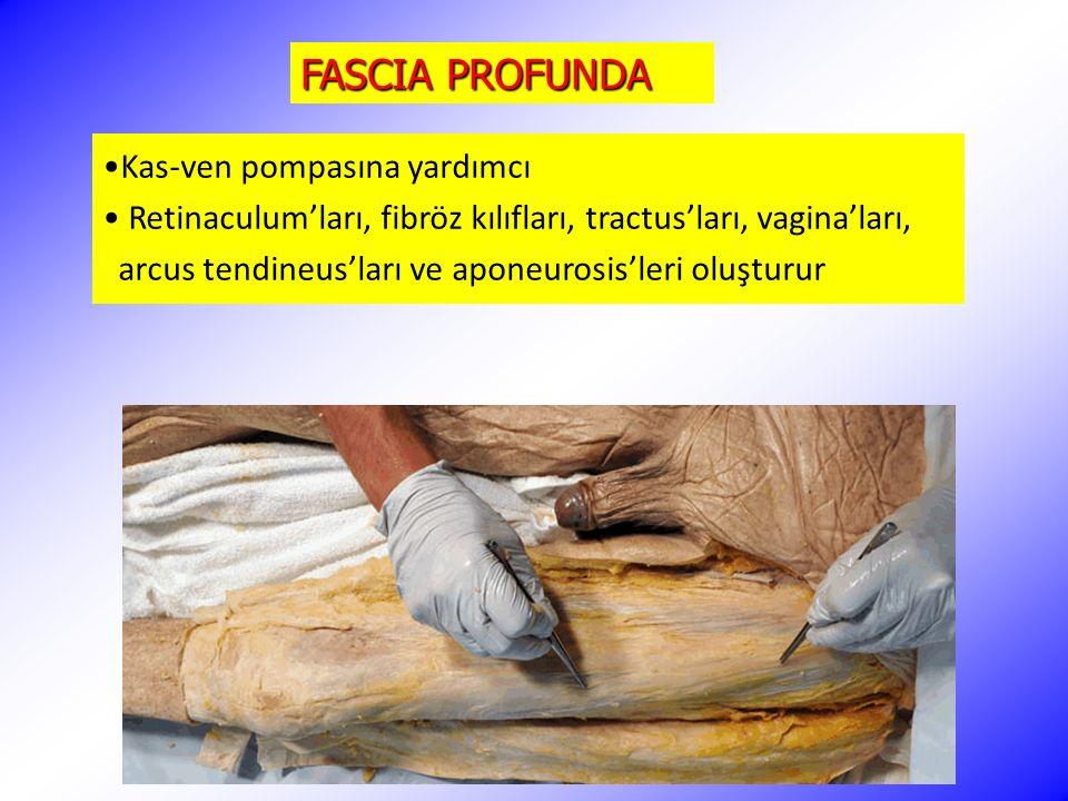 FASCIA PROFUNDA Kas-ven pompasına yardımcı Retinaculum'ları, fibröz kılıfları, tractus'ları, vagina'ları, arcus tendineus'ları ve aponeurosis'leri olu