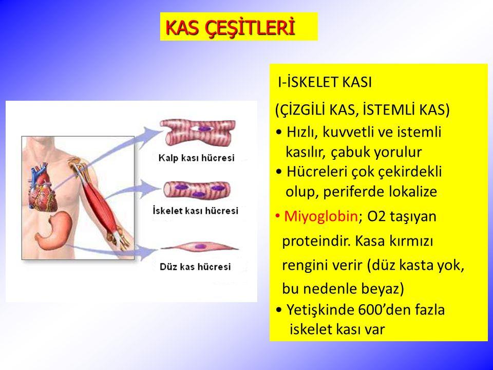 KAS ÇEŞİTLERİ I-İSKELET KASI (ÇİZGİLİ KAS, İSTEMLİ KAS) Hızlı, kuvvetli ve istemli kasılır, çabuk yorulur Hücreleri çok çekirdekli olup, periferde lok