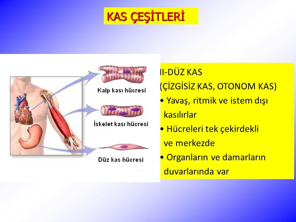 KAS ÇEŞİTLERİ II-DÜZ KAS (ÇİZGİSİZ KAS, OTONOM KAS) Yavaş, ritmik ve istem dışı kasılırlar Hücreleri tek çekirdekli ve merkezde Organların ve damarlar
