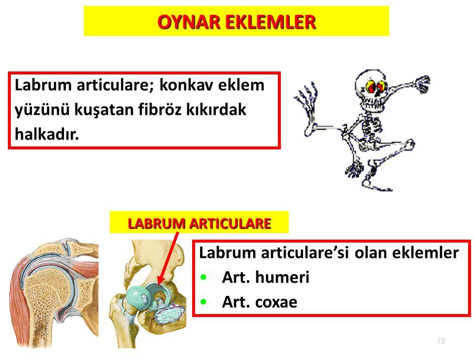 12 LABRUM ARTICULARE Labrum articulare'si olan eklemler Art. humeri Art. coxae OYNAR EKLEMLER Labrum articulare; konkav eklem yüzünü kuşatan fibröz kı