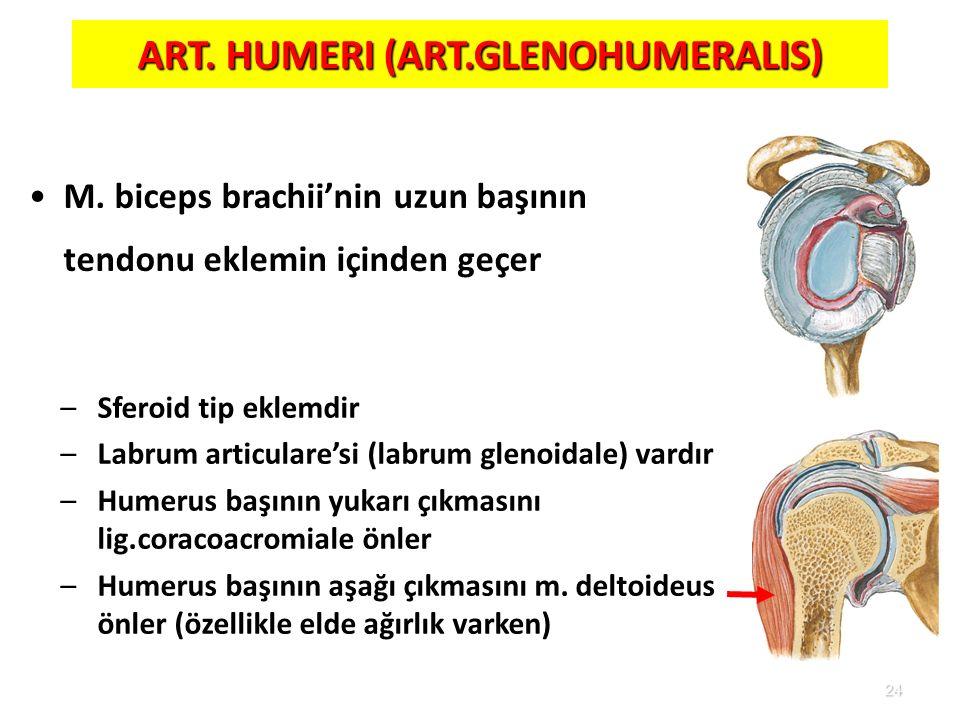 24 –Sferoid tip eklemdir –Labrum articulare'si (labrum glenoidale) vardır –Humerus başının yukarı çıkmasını lig.coracoacromiale önler –Humerus başının