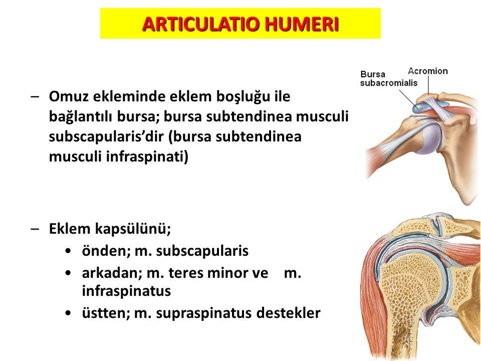 25 ARTICULATIO HUMERI –Omuz ekleminde eklem boşluğu ile bağlantılı bursa; bursa subtendinea musculi subscapularis'dir (bursa subtendinea musculi infra