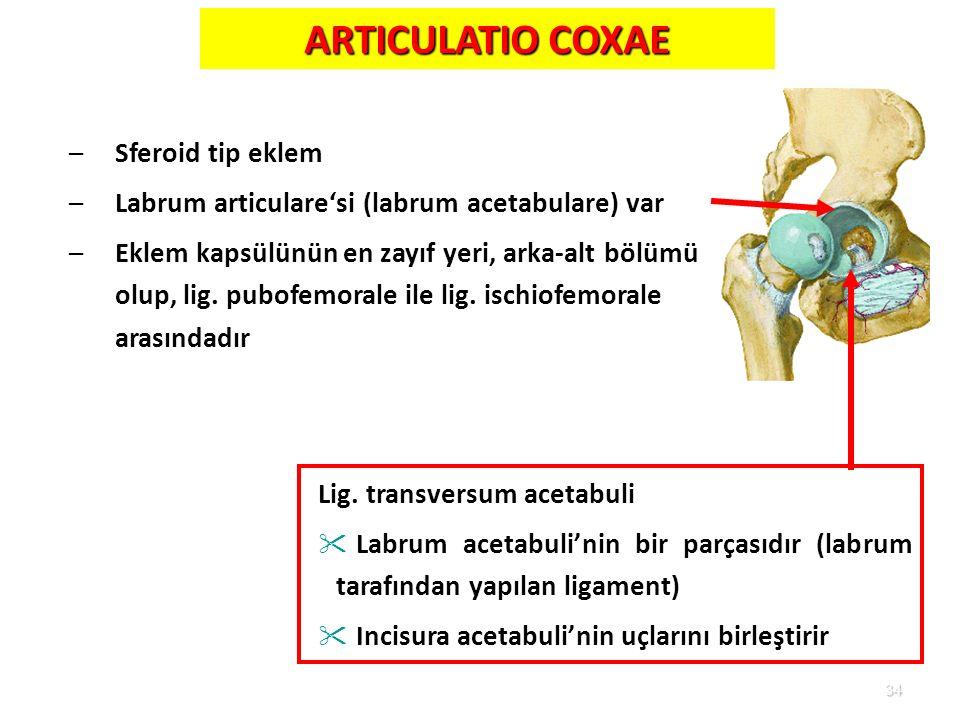 34 –Sferoid tip eklem –Labrum articulare'si (labrum acetabulare) var –Eklem kapsülünün en zayıf yeri, arka-alt bölümü olup, lig. pubofemorale ile lig.