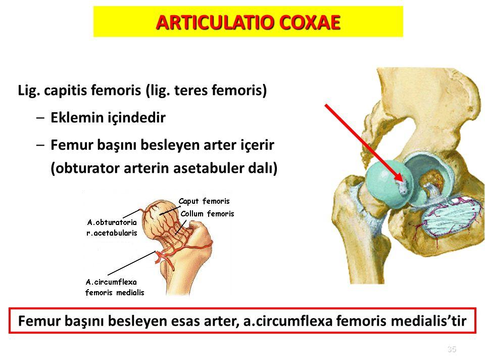 35 Lig. capitis femoris (lig. teres femoris) –Eklemin içindedir –Femur başını besleyen arter içerir (obturator arterin asetabuler dalı) ARTICULATIO CO