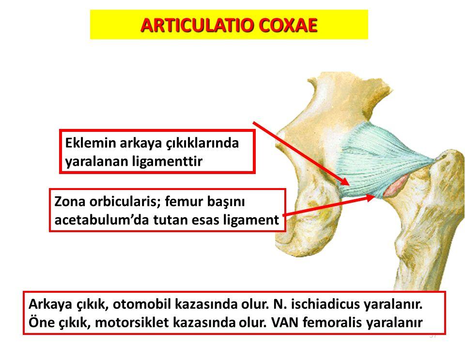 37 ARTICULATIO COXAE Lig.ischiofemorale Zona orbicularis; femur başını acetabulum'da tutan esas ligament Eklemin arkaya çıkıklarında yaralanan ligamen
