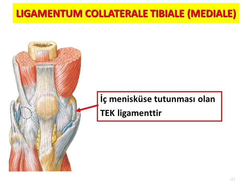 41 LIGAMENTUM COLLATERALE TIBIALE (MEDIALE) İç menisküse tutunması olan TEK ligamenttir