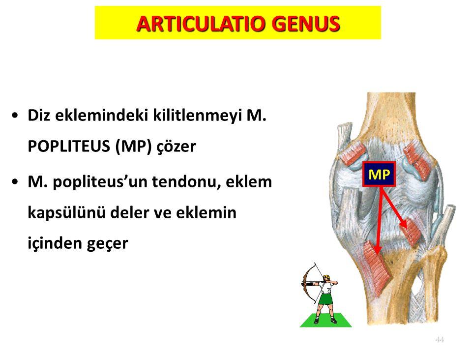 44 ARTICULATIO GENUS Diz eklemindeki kilitlenmeyi M. POPLITEUS (MP) çözer M. popliteus'un tendonu, eklem kapsülünü deler ve eklemin içinden geçer MP