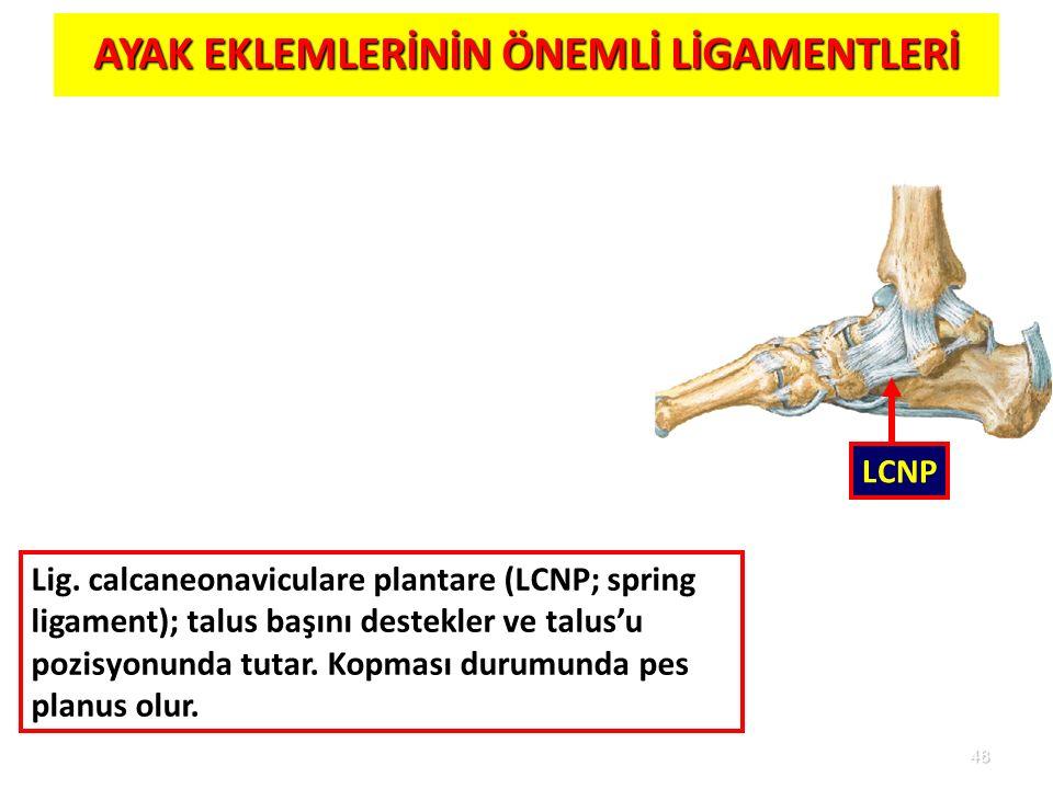 48 AYAK EKLEMLERİNİN ÖNEMLİ LİGAMENTLERİ LCNP Lig. calcaneonaviculare plantare (LCNP; spring ligament); talus başını destekler ve talus'u pozisyonunda