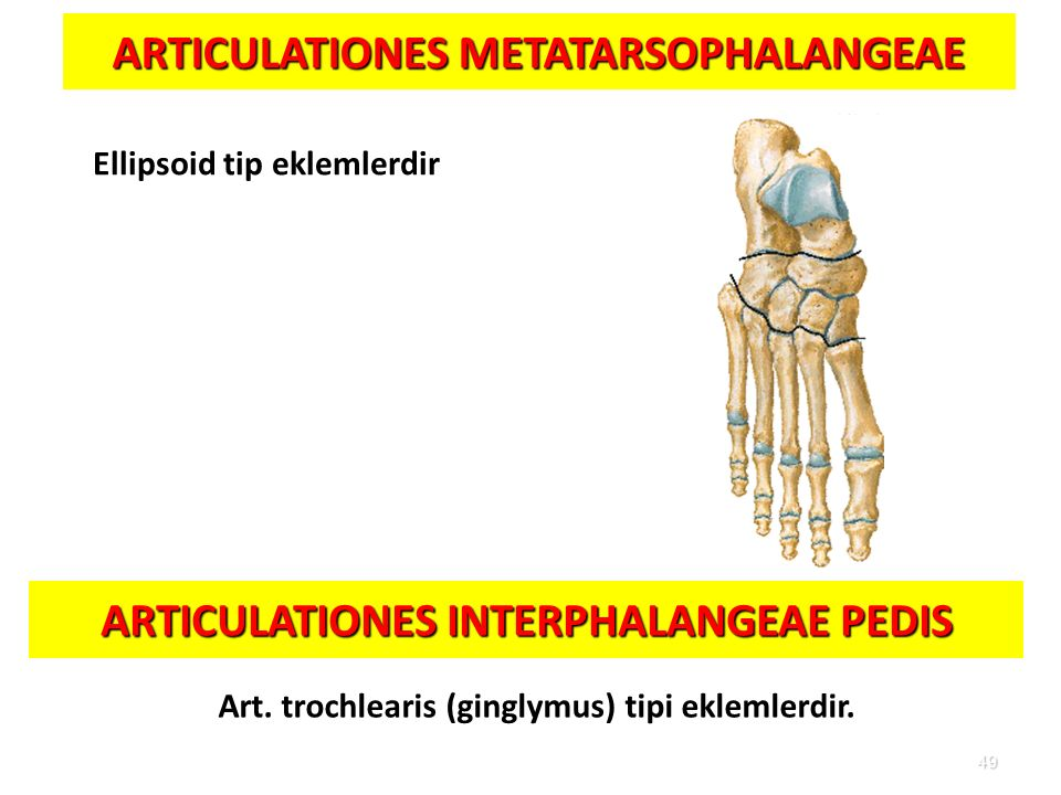 49 ARTICULATIONES METATARSOPHALANGEAE Ellipsoid tip eklemlerdir ARTICULATIONES INTERPHALANGEAE PEDIS Art. trochlearis (ginglymus) tipi eklemlerdir.