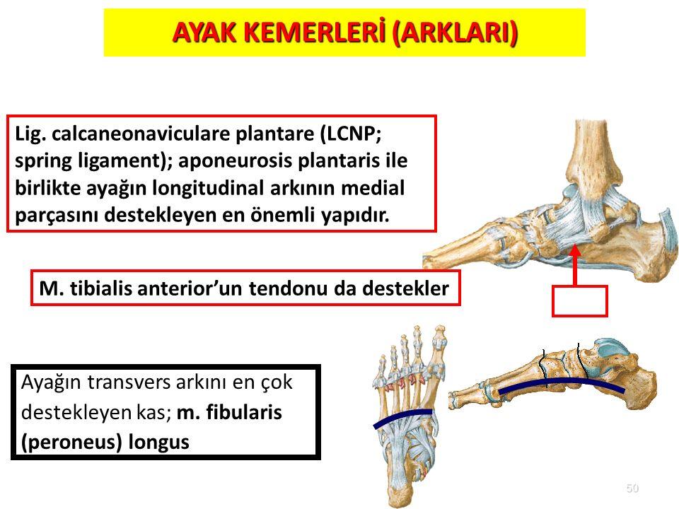 50 AYAK KEMERLERİ (ARKLARI) LCNP Ayağın transvers arkını en çok destekleyen kas; m. fibularis (peroneus) longus M. tibialis anterior'un tendonu da des
