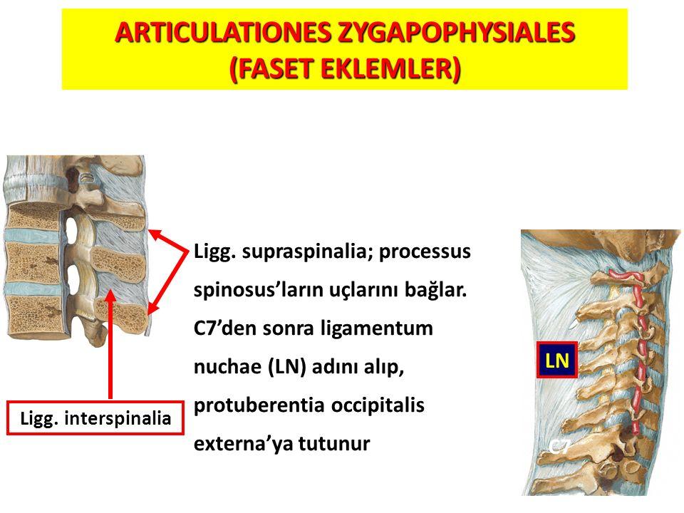 57 Ligg. supraspinalia; processus spinosus'ların uçlarını bağlar. C7'den sonra ligamentum nuchae (LN) adını alıp, protuberentia occipitalis externa'ya