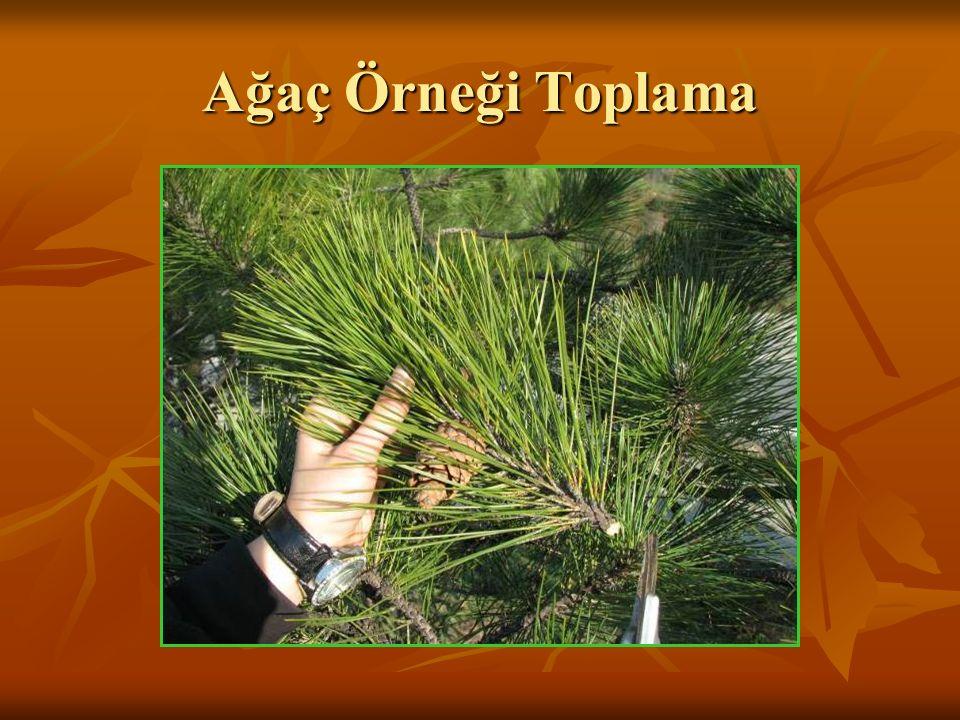Tek yıllık otsu örnek toplanması Kök kısmı ile birlikte bitki topraktan çıkarılmalı ve kök üzerindeki toprak kalıntıları temizlenmelidir.