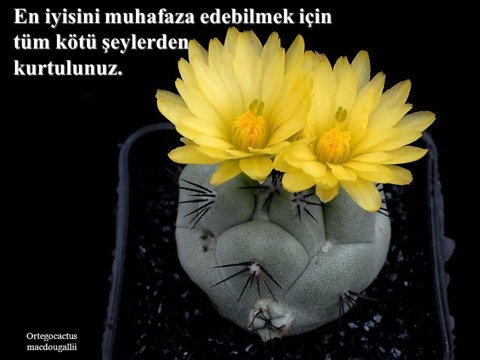 Copiapoa tenuissima Durum ne kadar güç olursa olsun, olursa olsun, iyileşecektir.