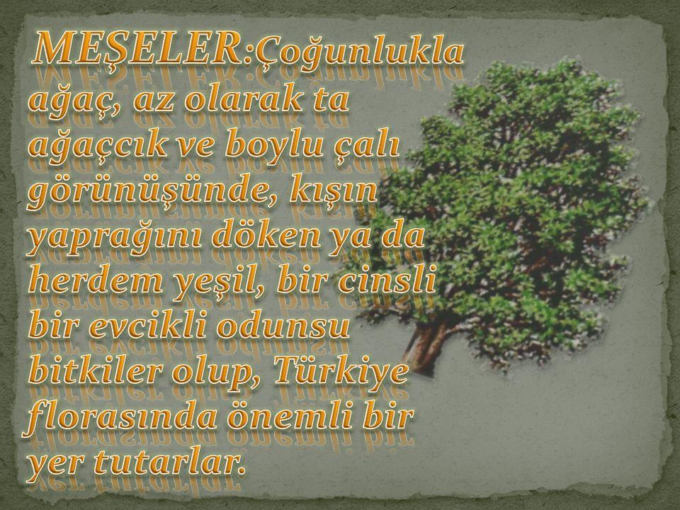 Quercus coccifera (Kermes Meşesi) Quercus ilex (Pırnal Meşesi) Quercus aucheri (Boz Pırnal Meşesi)