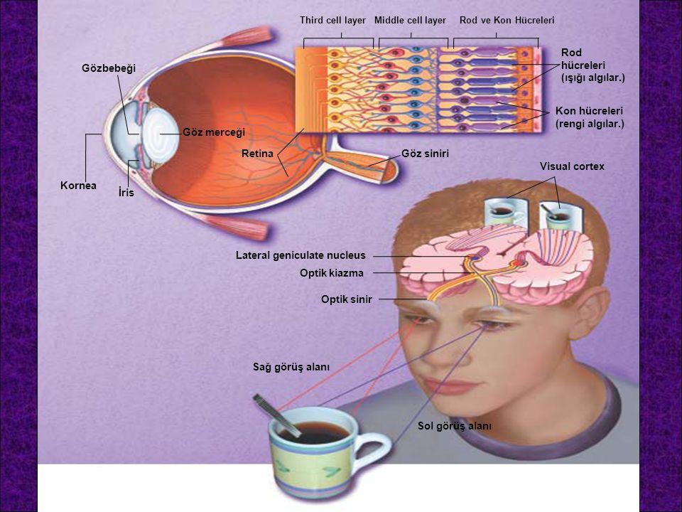 Kornea İris Gözbebeği Göz merceği RetinaGöz siniri Sağ görüş alanı Sol görüş alanı Optik sinir Optik kiazma Lateral geniculate nucleus Visual cortex K