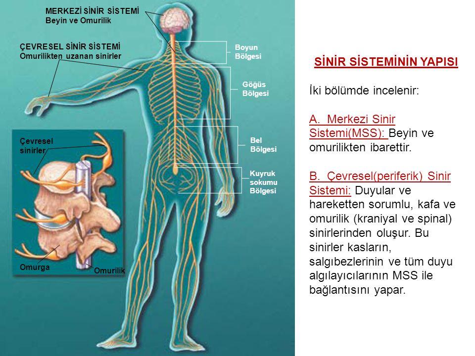 Sinir sistemi Beyin Omurilik Merkezi sinir sistemi Çevresel sinir sistemi Somatik (istemli) sinir sistemi Otonom (istemsiz) sinir sistemi Sempatik sinir sistemi Parasempatik sinir sistemi Omurilik sinirleri Kafatası sinirleri