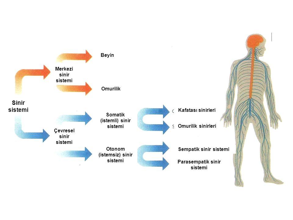 Sinir sistemi Beyin Omurilik Merkezi sinir sistemi Çevresel sinir sistemi Somatik (istemli) sinir sistemi Otonom (istemsiz) sinir sistemi Sempatik sin