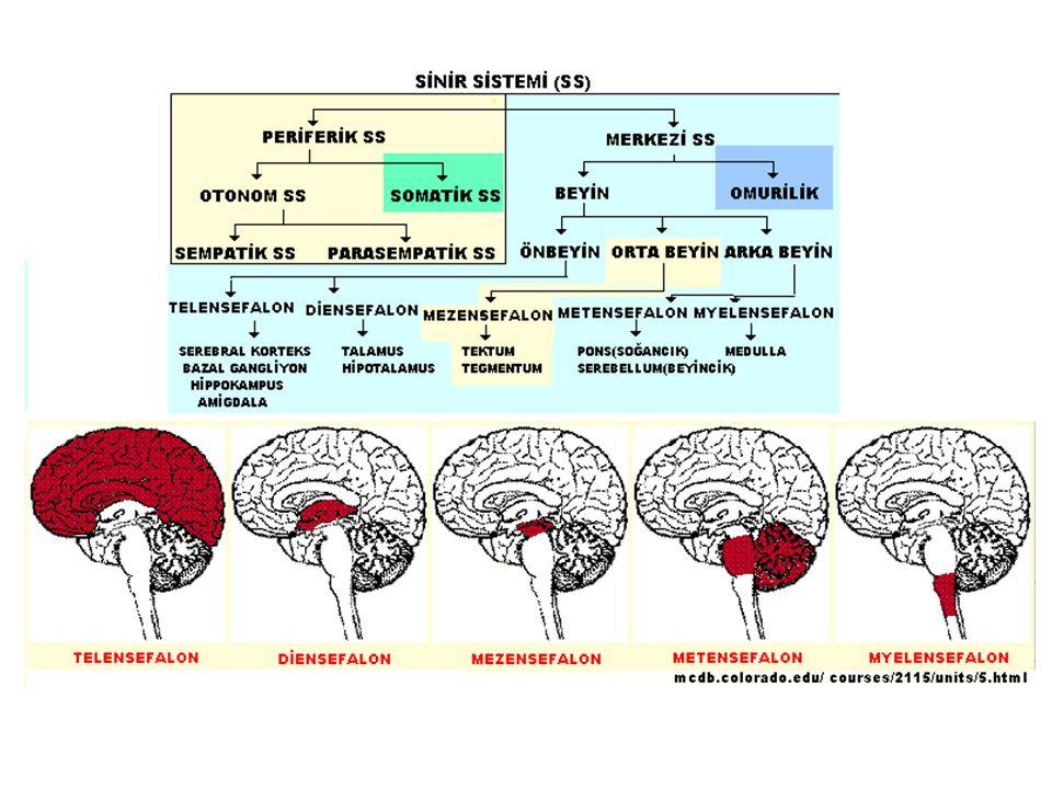 Duyma Merkezi Dış KulakOrta Kulak İç Kulak Çekiç Kemiği Örs Kemiği Üzengi Kemiği Duyma Siniri Salyangoz ORTA KULAKTAKİ KEMİKLER Kulak Kepçesi Kulak Zarı Dış Duyma Yolu Oval pencere Salyangozun saç hücresi Çekirdek Transmitters bırakılır Bırakılan kimyasallar, siniri uyarır, ve beyne uyarıları yollar.