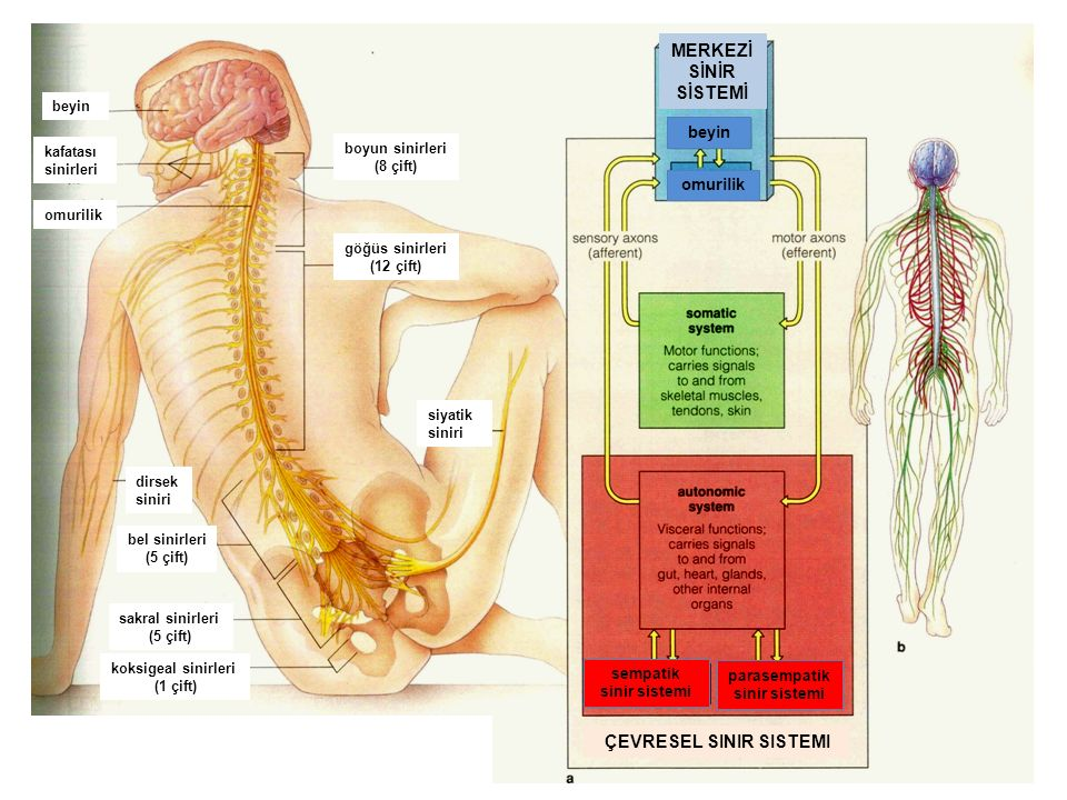 7 ÇEVRESEL SINIR SISTEMI MERKEZİ SİNİR SİSTEMİ beyin omurilik sempatik sinir sistemi parasempatik sinir sistemi beyin kafatası sinirleri omurilik boyu