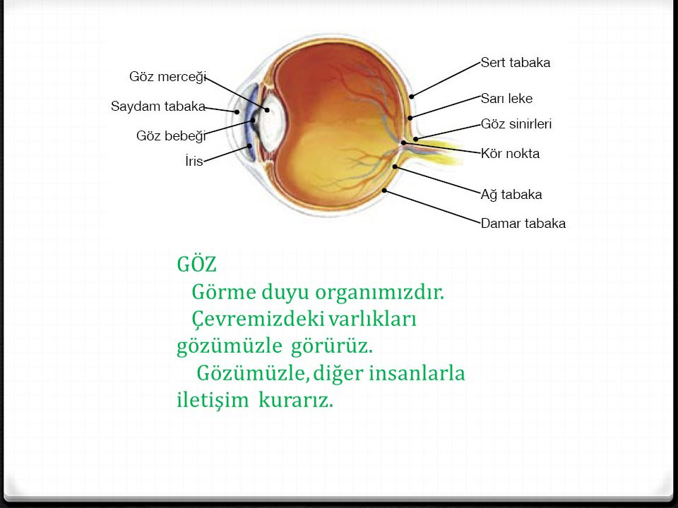 GÖZ Görme duyu organımızdır. Çevremizdeki varlıkları gözümüzle görürüz. Gözümüzle, diğer insanlarla iletişim kurarız.
