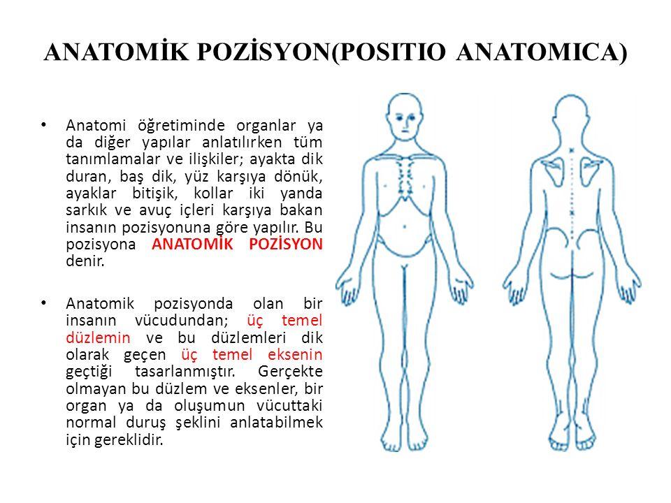 ANATOMİK POZİSYON(POSITIO ANATOMICA) Anatomi öğretiminde organlar ya da diğer yapılar anlatılırken tüm tanımlamalar ve ilişkiler; ayakta dik duran, ba