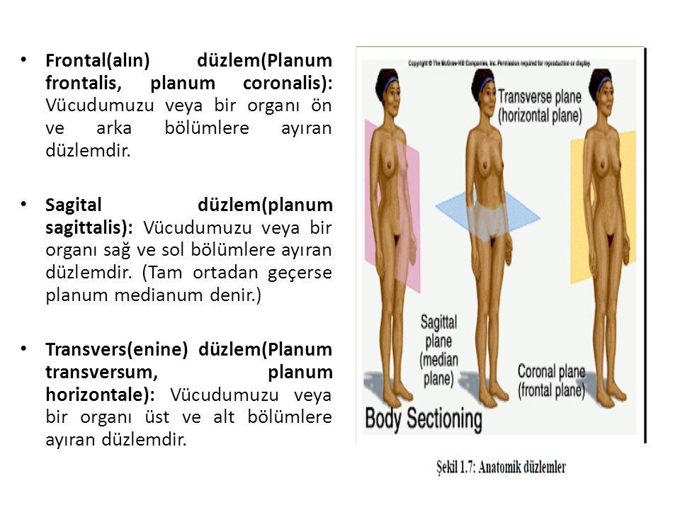 Frontal(alın) düzlem(Planum frontalis, planum coronalis): Vücudumuzu veya bir organı ön ve arka bölümlere ayıran düzlemdir. Sagital düzlem(planum sagi