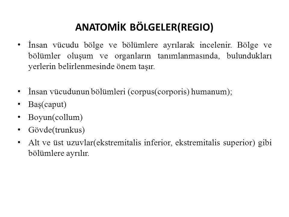 ANATOMİK BÖLGELER(REGIO) İnsan vücudu bölge ve bölümlere ayrılarak incelenir. Bölge ve bölümler oluşum ve organların tanımlanmasında, bulundukları yer
