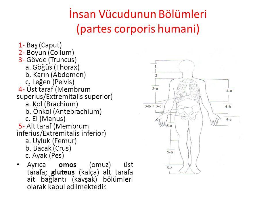 İnsan Vücudunun Bölümleri (partes corporis humani) 1- Baş (Caput) 2- Boyun (Collum) 3- Gövde (Truncus) a. Göğüs (Thorax) b. Karın (Abdomen) c. Leğen (
