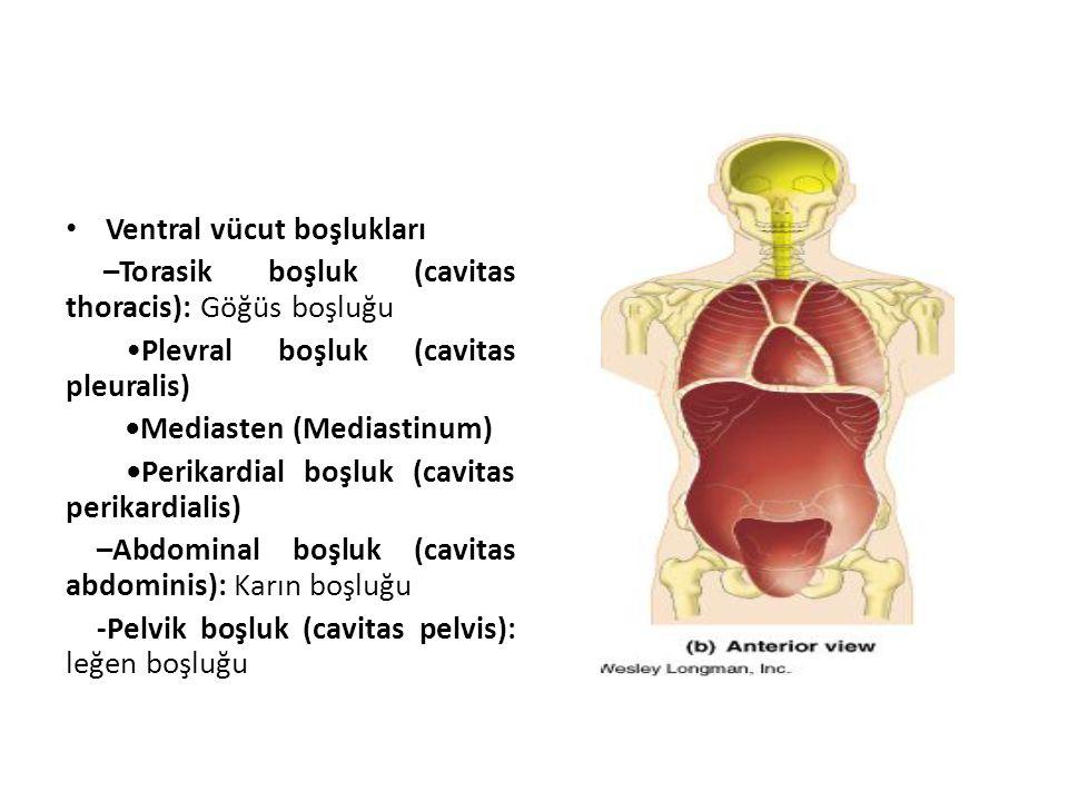 Ventral vücut boşlukları –Torasik boşluk (cavitas thoracis): Göğüs boşluğu Plevral boşluk (cavitas pleuralis) Mediasten (Mediastinum) Perikardial boşl