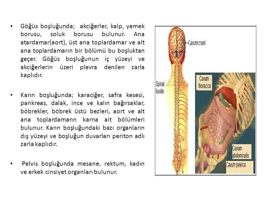 Göğüs boşluğunda; akciğerler, kalp, yemek borusu, soluk borusu bulunur. Ana atardamar(aort), üst ana toplardamar ve alt ana toplardamarın bir bölümü b