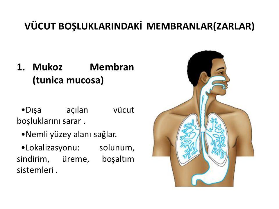 VÜCUT BOŞLUKLARINDAKİ MEMBRANLAR(ZARLAR) 1.Mukoz Membran (tunica mucosa) Dışa açılan vücut boşluklarını sarar. Nemli yüzey alanı sağlar. Lokalizasyonu